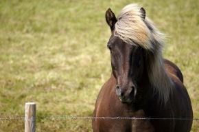 Icelandic horse 01