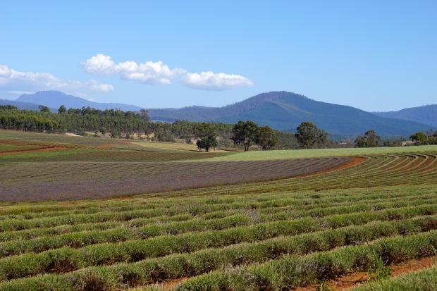 Bridgestowe Lavender Farm